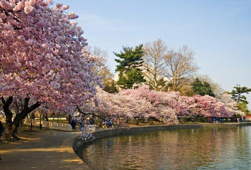 Sakura-Ciresii-infloriti